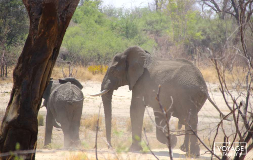 big five elephant lors d'un safari botswana en famille